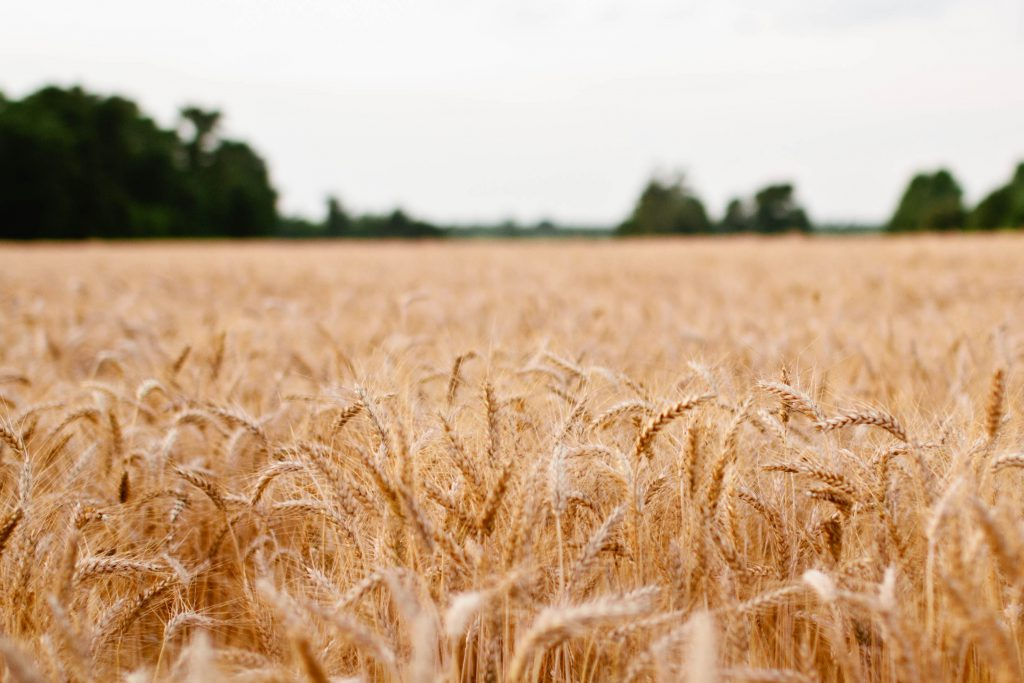 landscape-field-wheat-safe